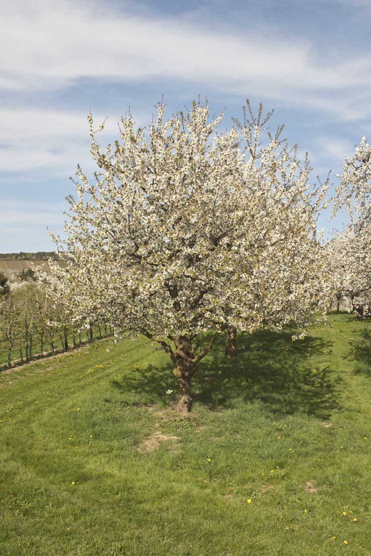 instructions for pruning fruit trees