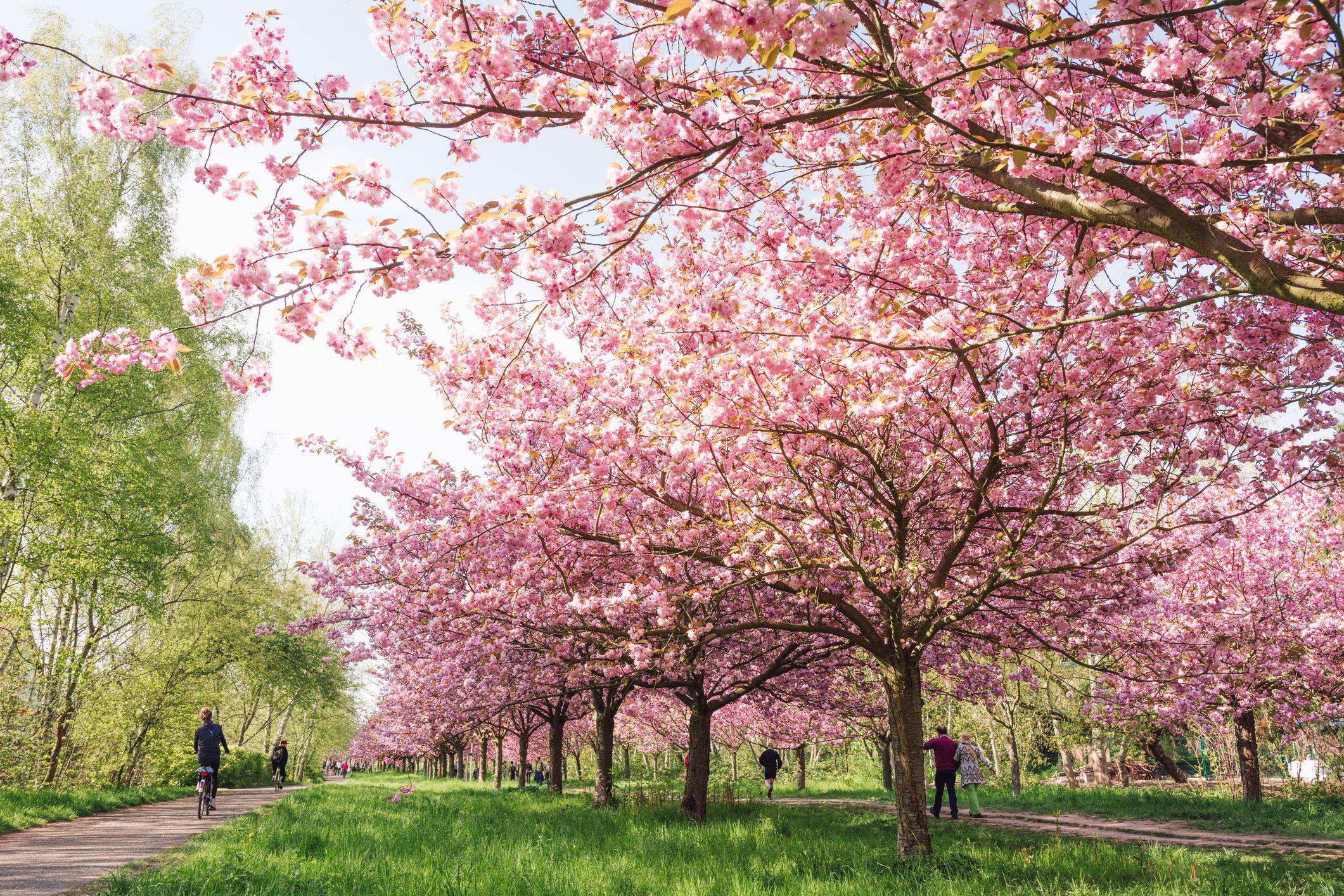 cherry blossom tree planting instructions