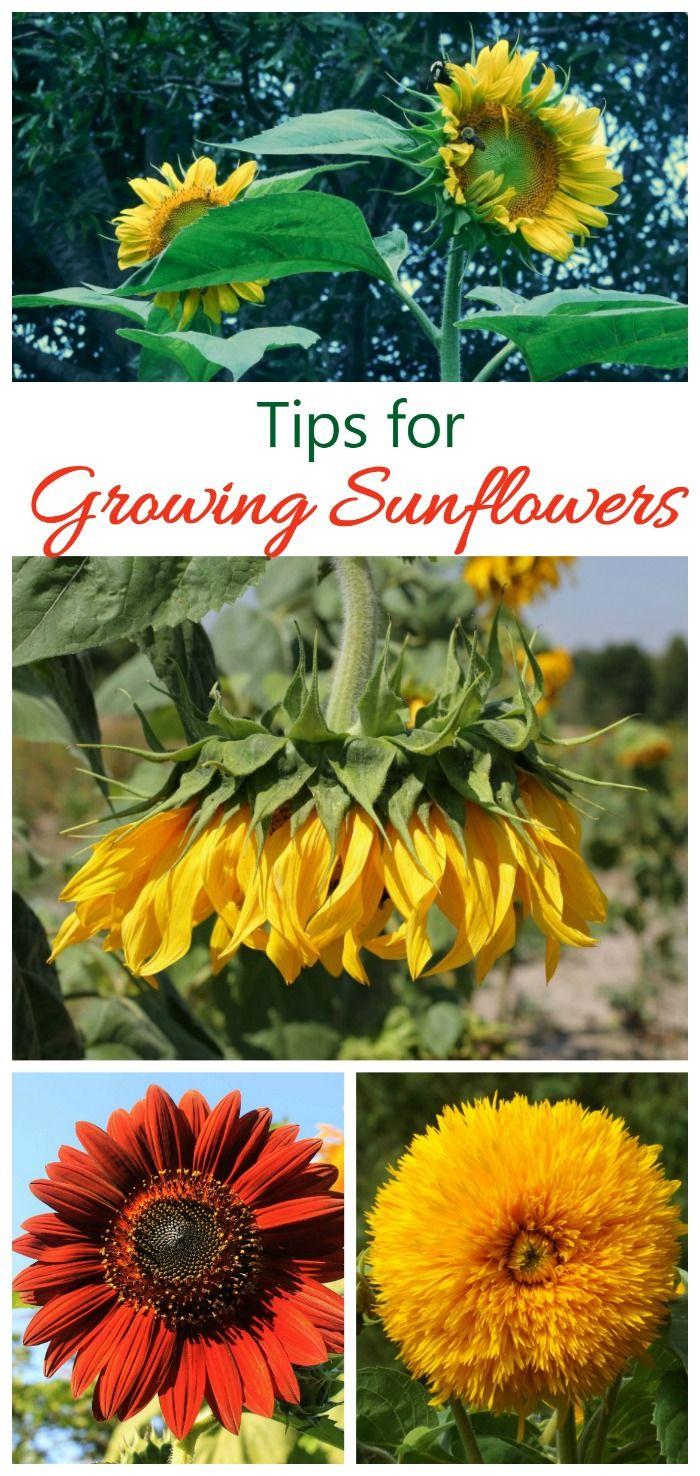 planting sunflower seeds instructions