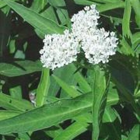 planting instructions for asclepias incarnata plants