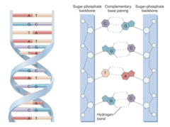 messenger rna carries the instructions to make a particular blank