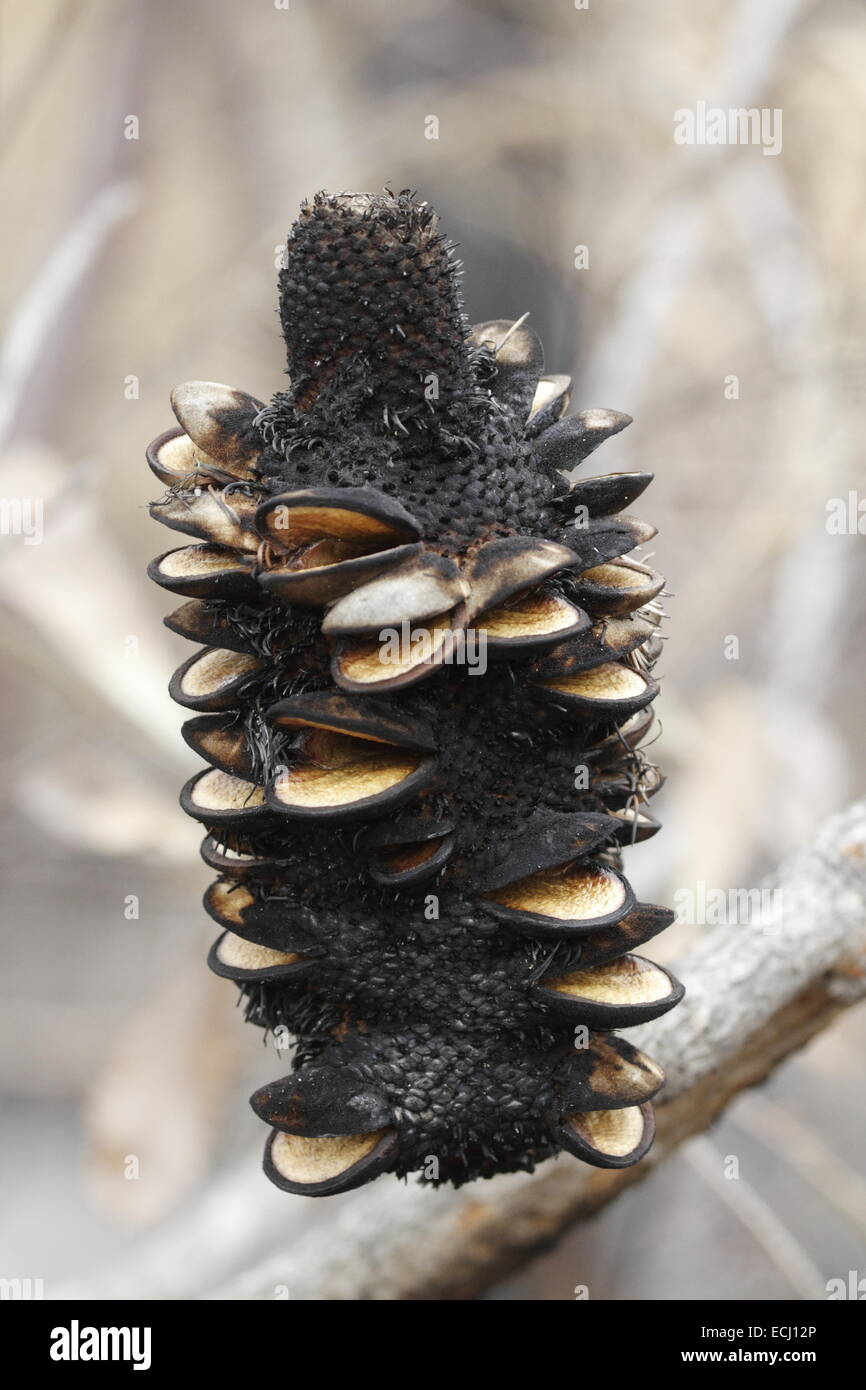 banksia seed pod instructions