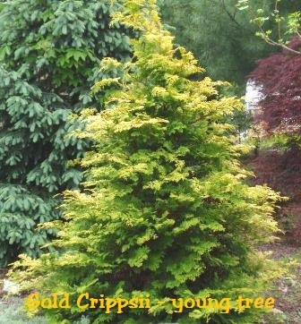 blue spruce care instructions