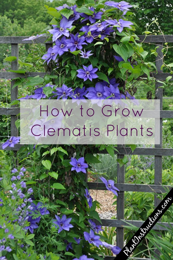 clematis from seed instructions